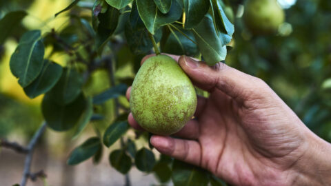 Collecting pears from the tree